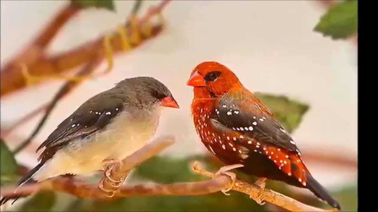 عصافير الفراولة