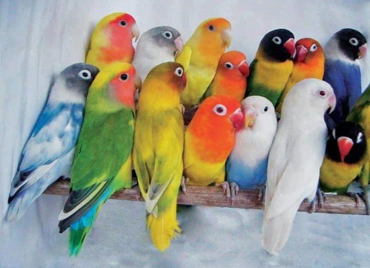 عصافير الفيشر